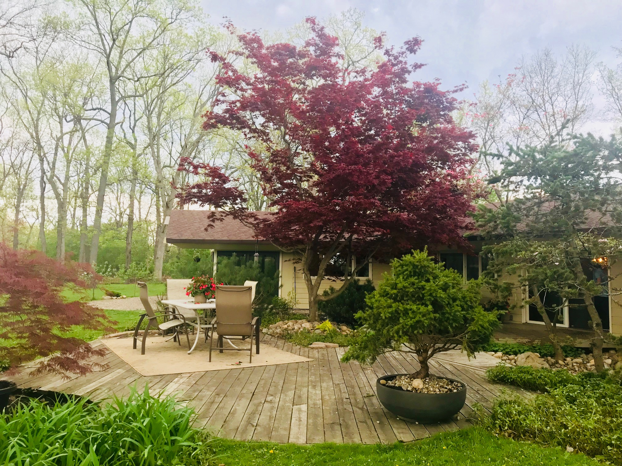 JAPANESE MAPLES AND BONSAI