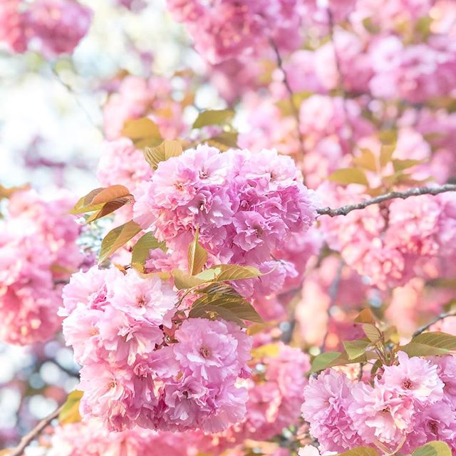 🌸🌸🌸 for days☁️☁️☁️ #spring #sakurablossoms