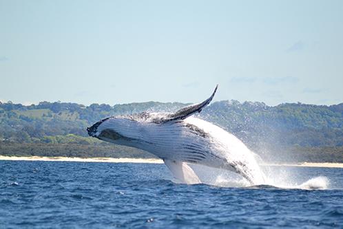 Whale-Watching-Byron-Bay_498x333.jpg