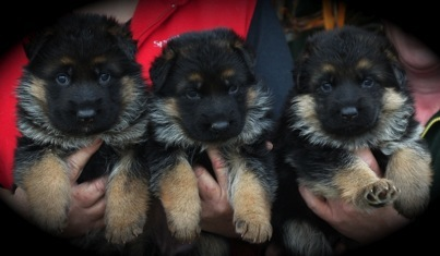 3 German Shepherd Aimsway Puppies