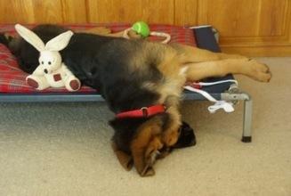 German Shepherd puppy falling off bed.jpg