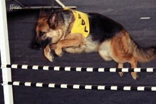 German Shepherd agility training.jpg