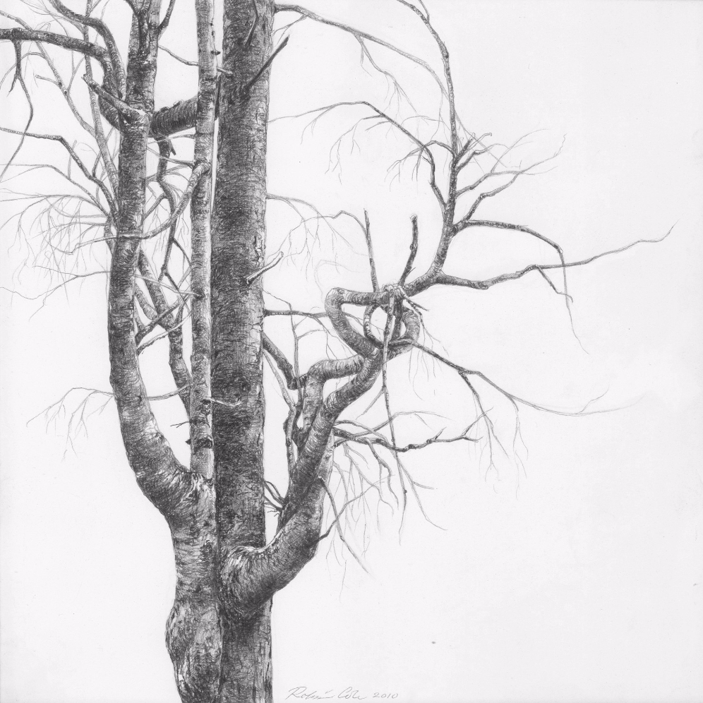 Spruce III , 2010. Graphite on clayboard.8 x 8 inches. Private collection.