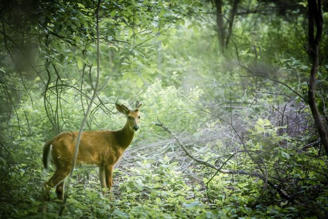 Swamp Buck Fawn. 1/60 @ F/2.8 ISO 640