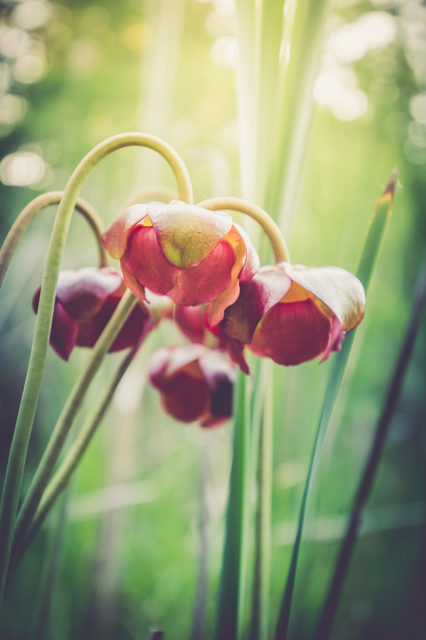 Pitcher Plant. 1/80 @ F/4ISO 1000