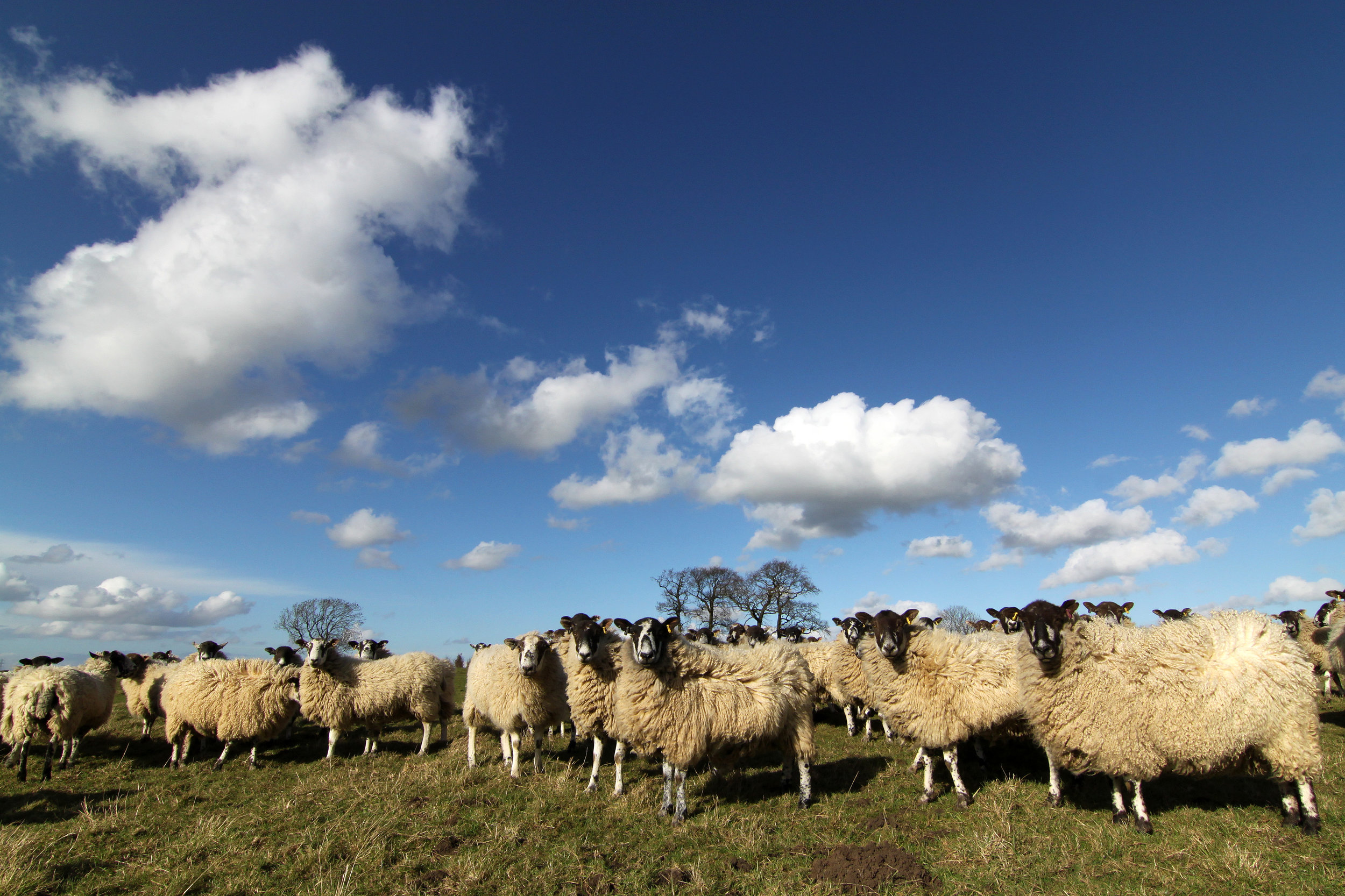 Sheep in the Nettley