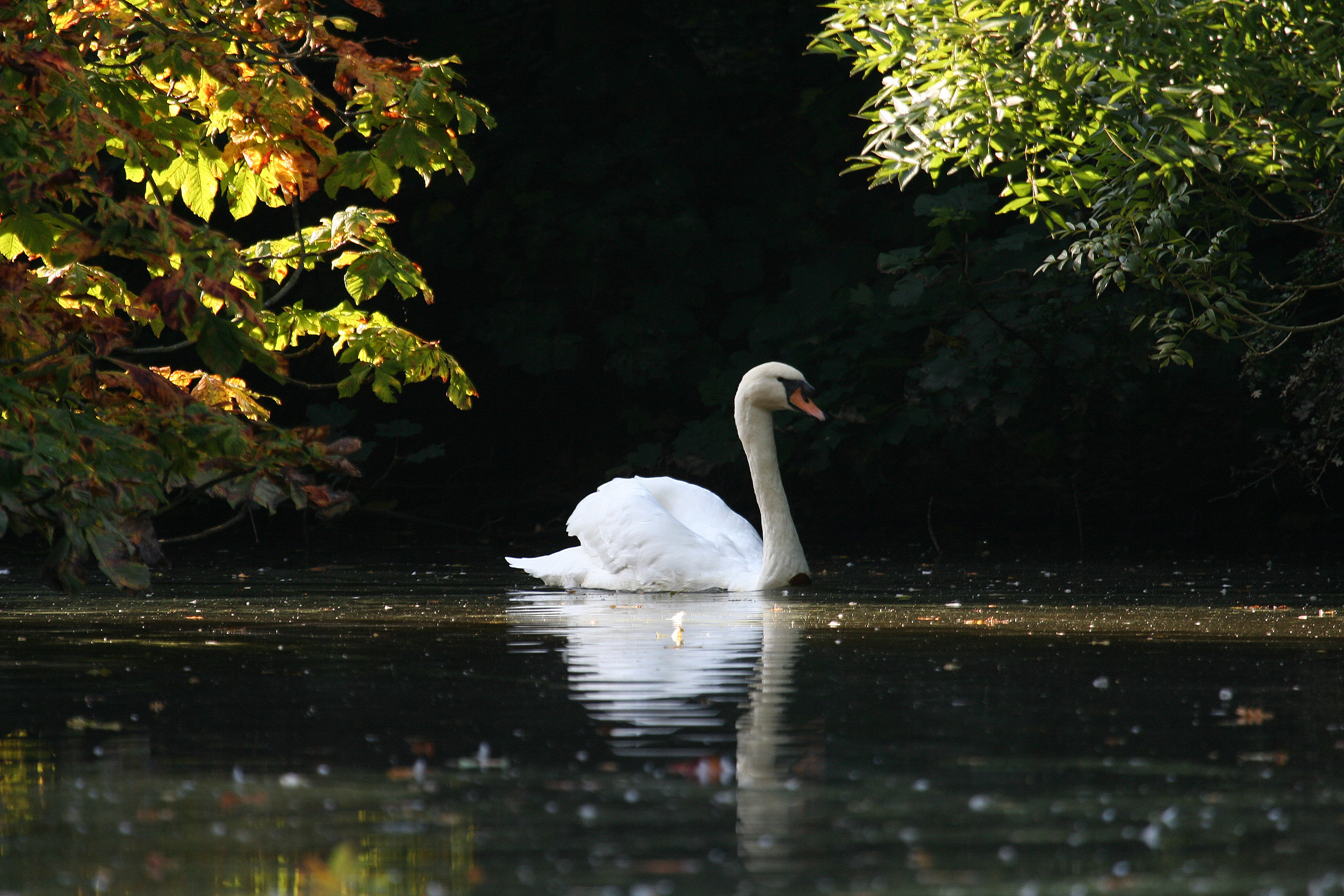 Mute Swan at the Fish Ponds