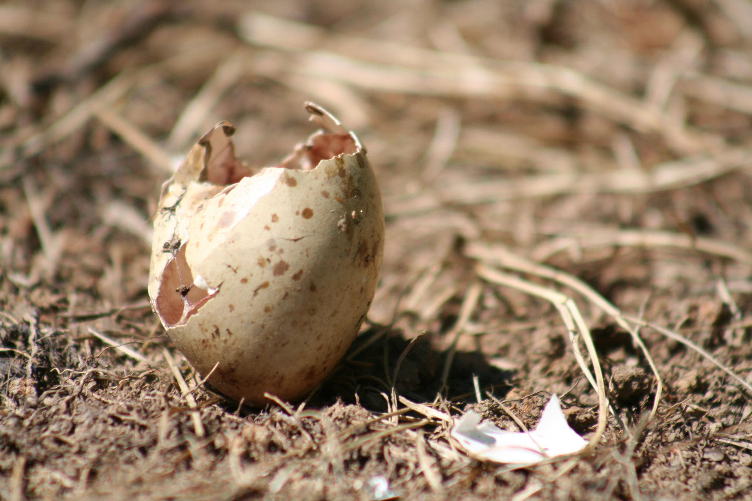 Woodcock Egg