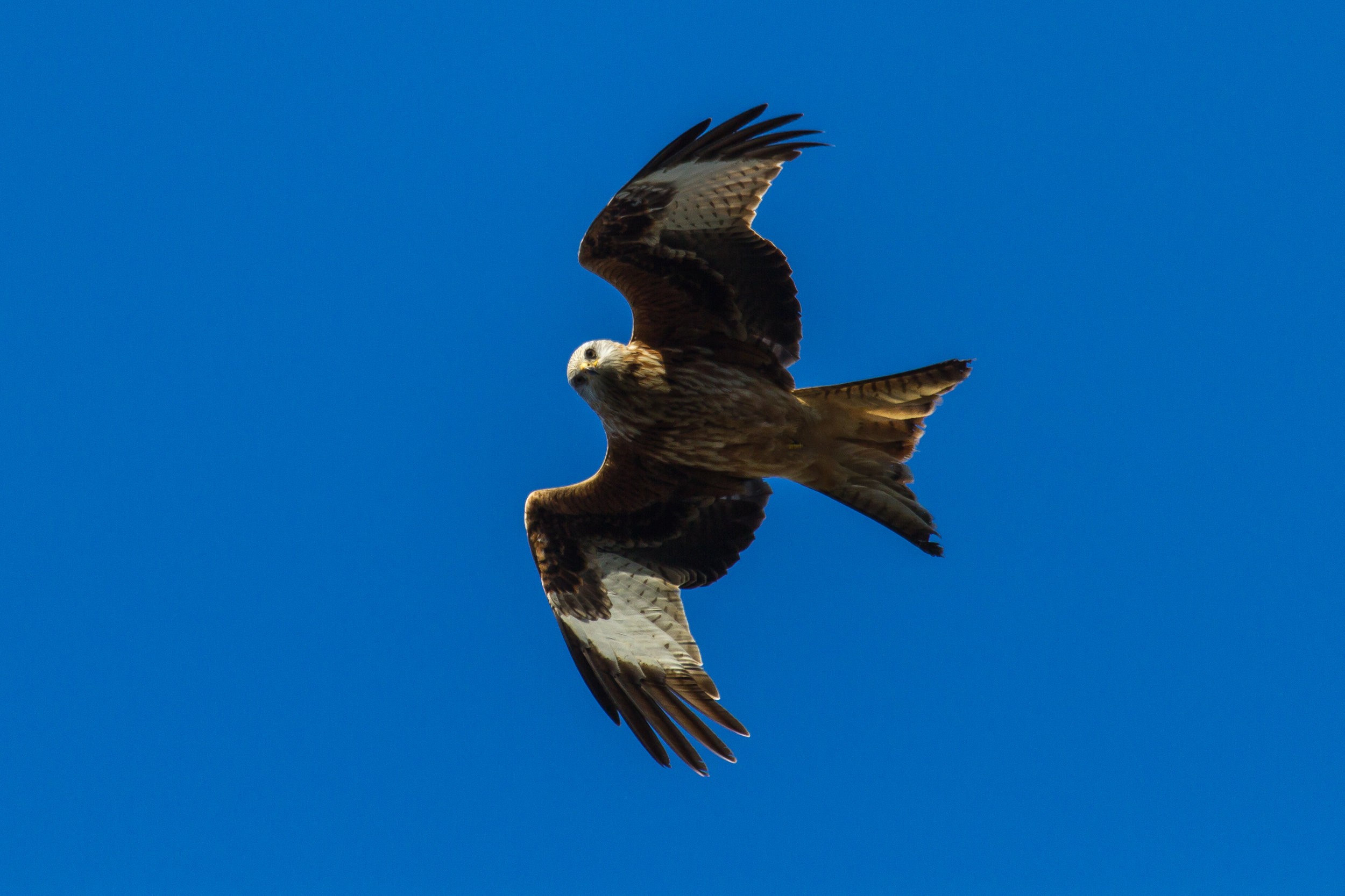 Red Kite at High Wood