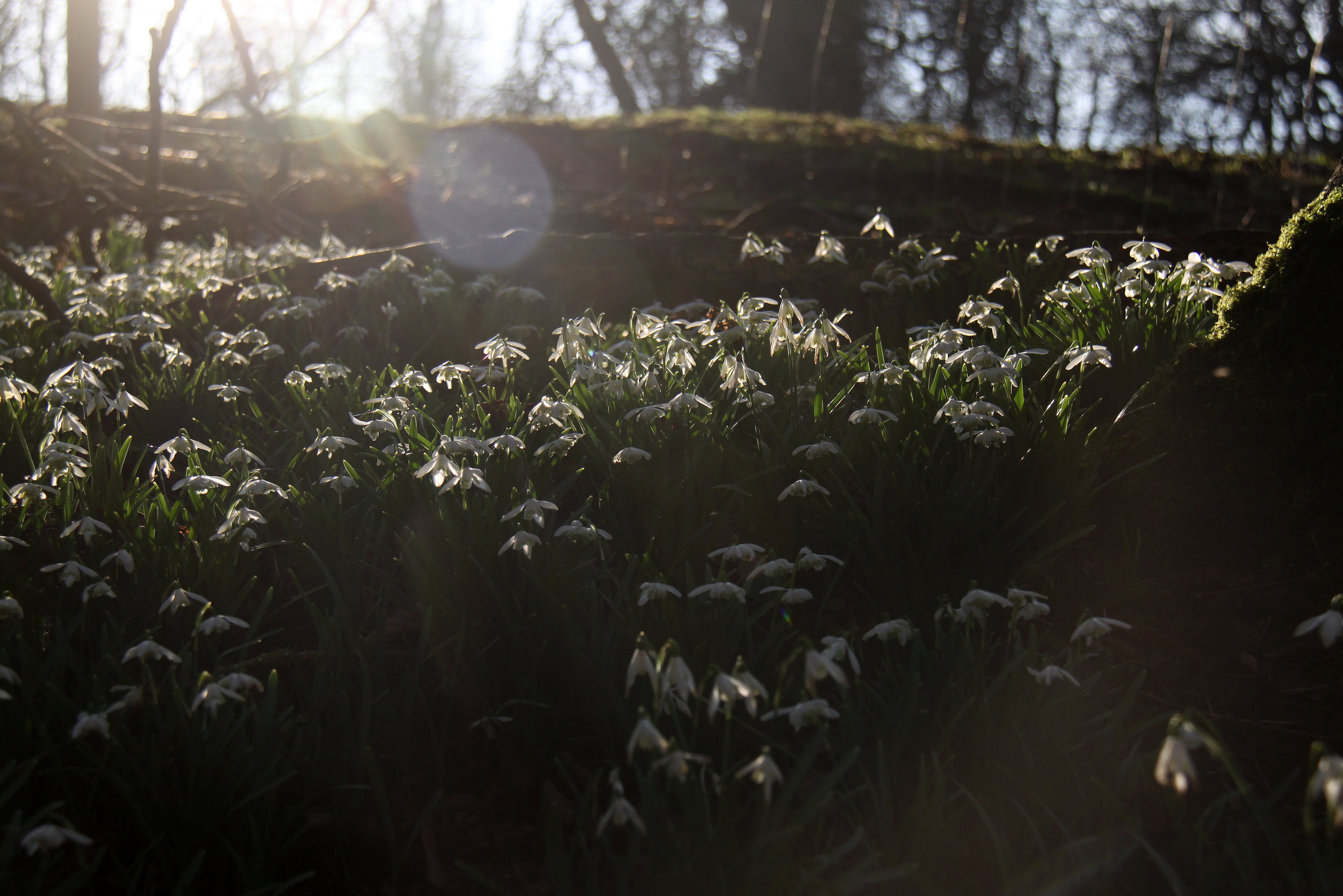 Snowdrops in Easton Park