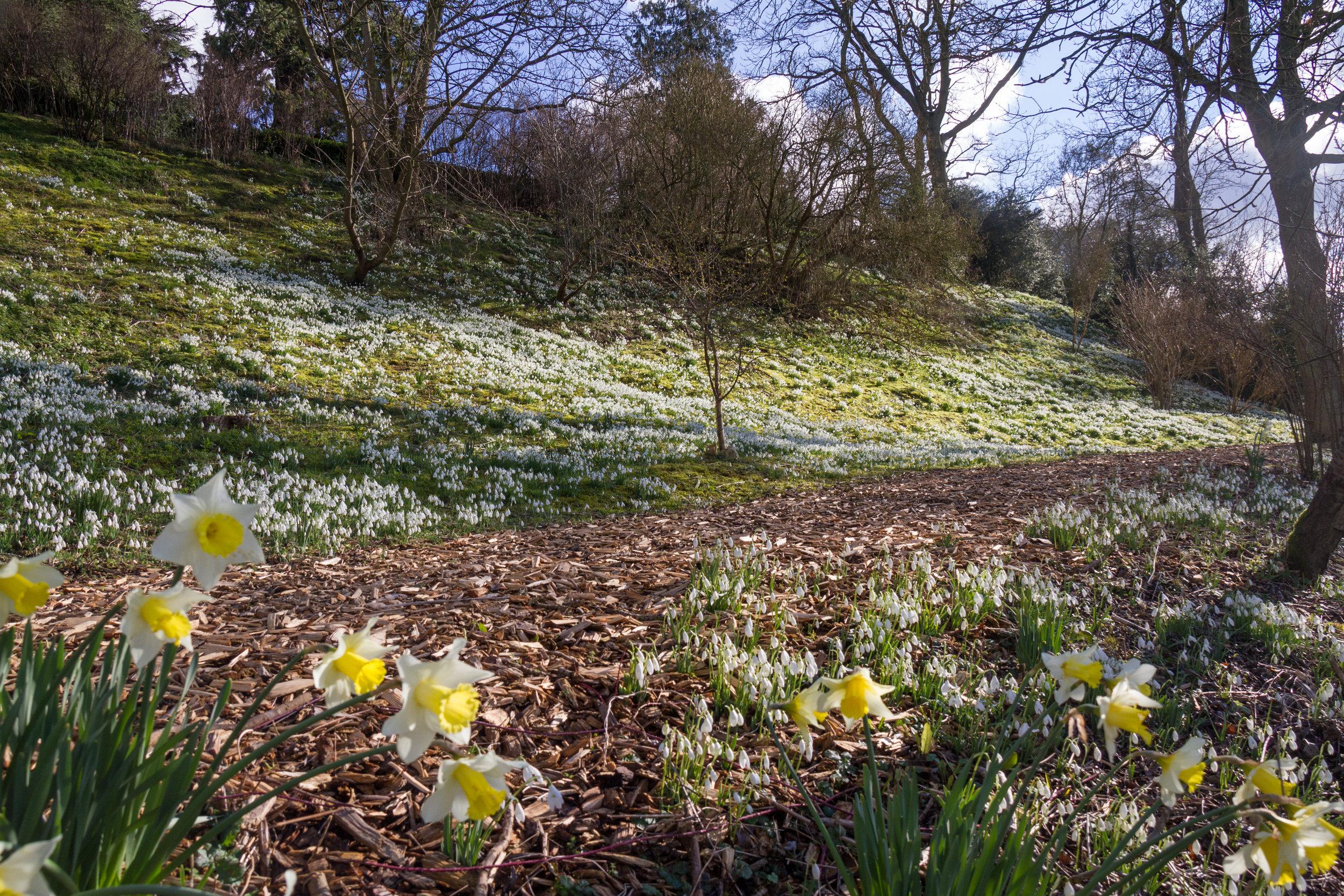 Snowdrop Walk Easton Walled Gardens