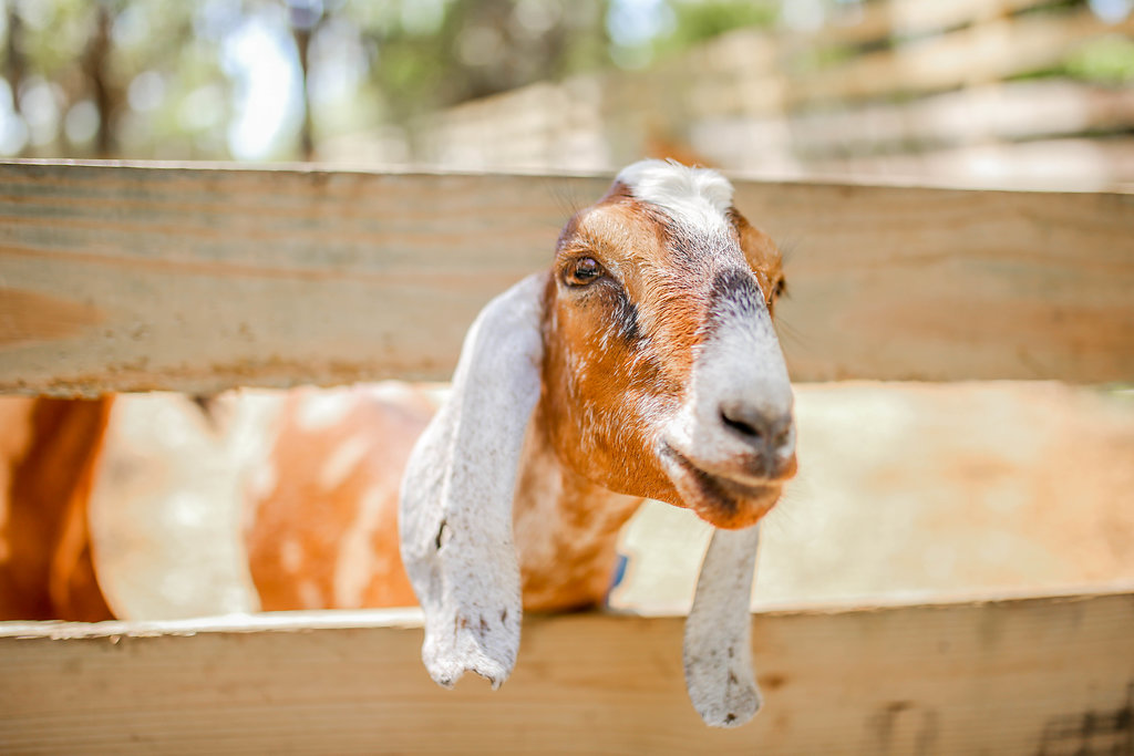 One of the Mullins' goats. Photo by  Alanna Volen Photography