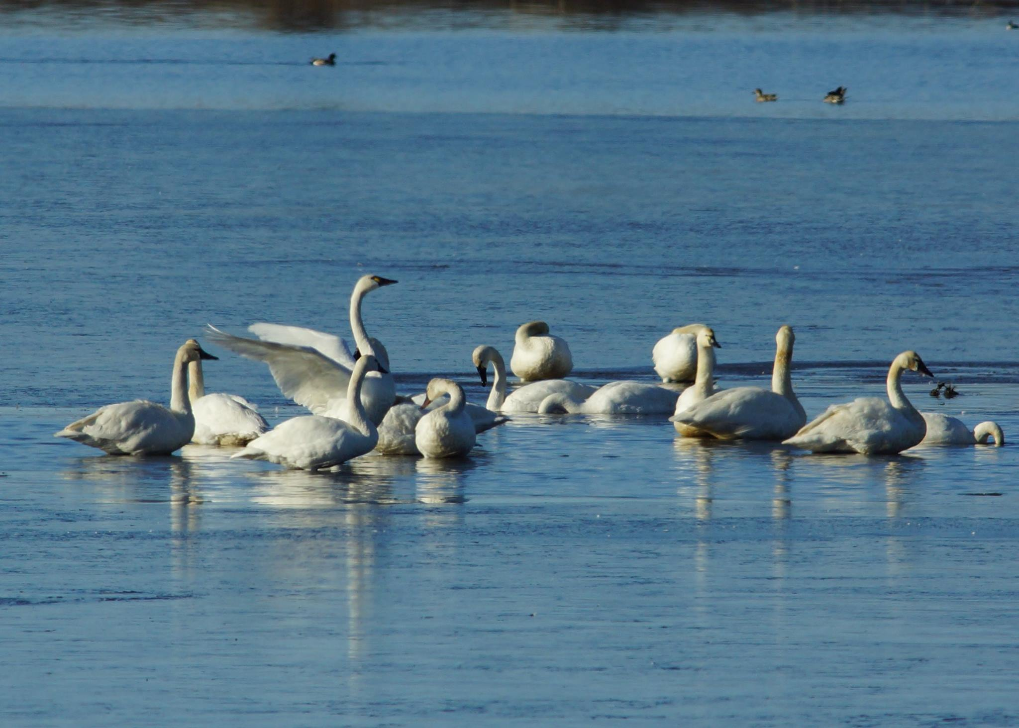 Migrating swans.jpg