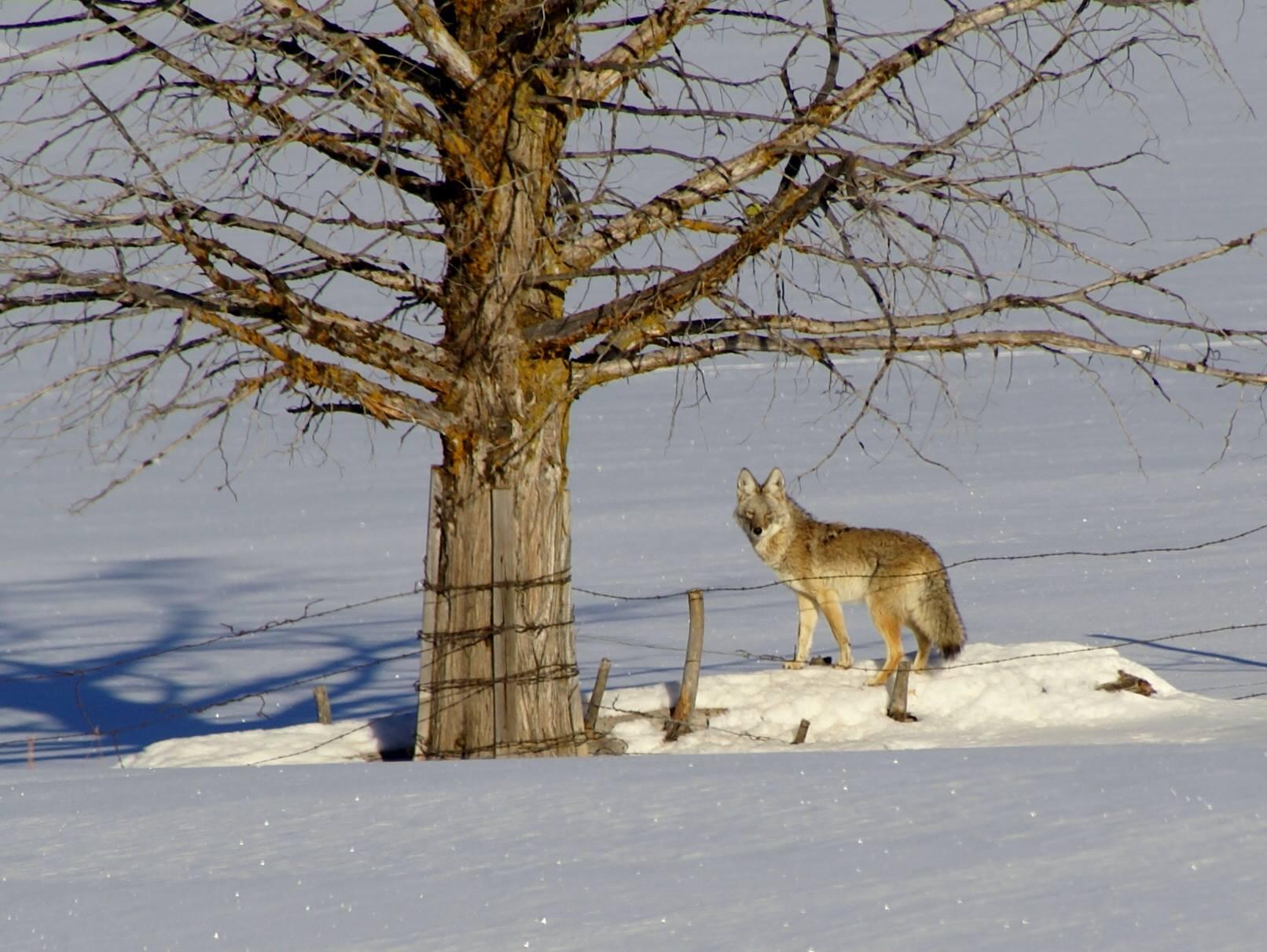 Wily coyote.jpg