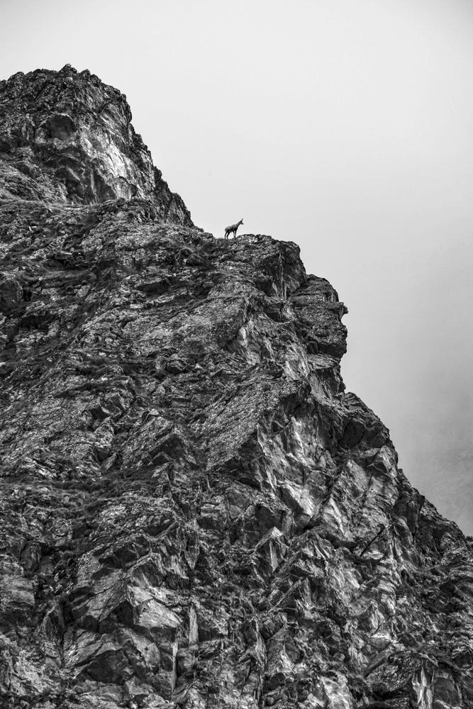 chamois alpiniste dans les pentes du mont tondu, val montjoie (haute-savoie, france). Page 38