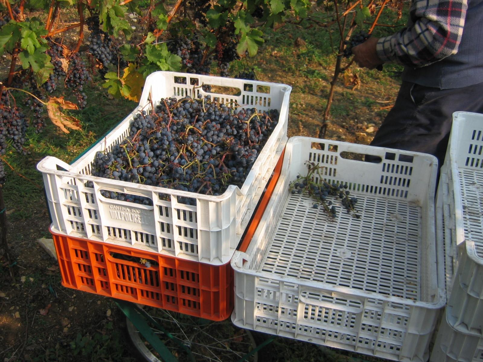 Raccolta manuale di uve destinate ai vini da appassimento