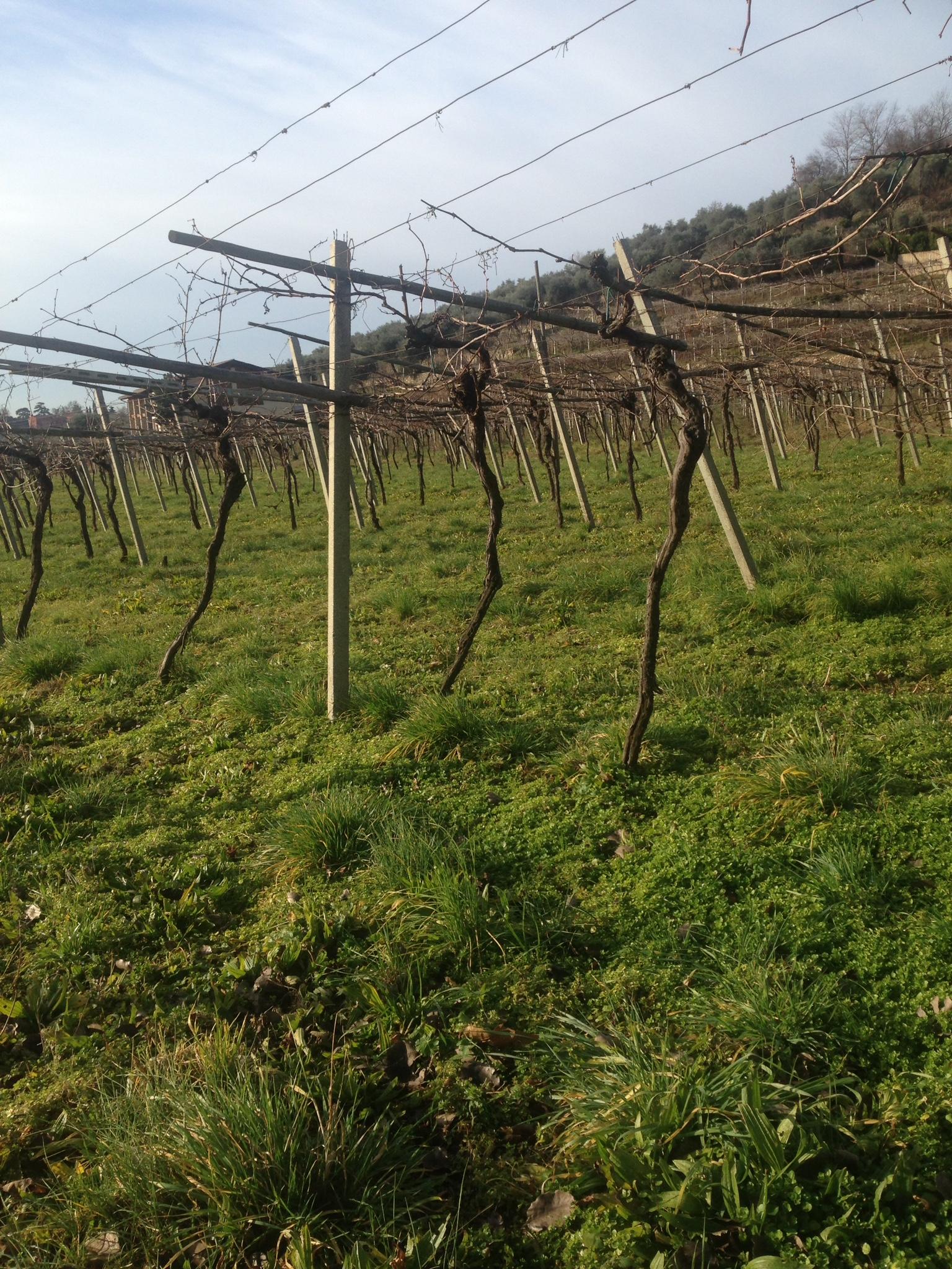 salumi vineyard.JPG