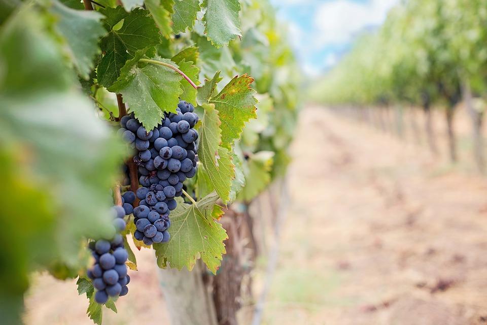 grapes-1952035_960_720.jpg