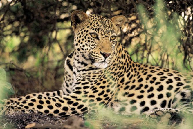 Leopard-Large copy.JPG