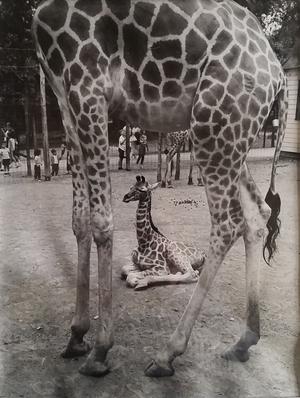 Giraffe born at The Catskill Game Farm - NOT April..