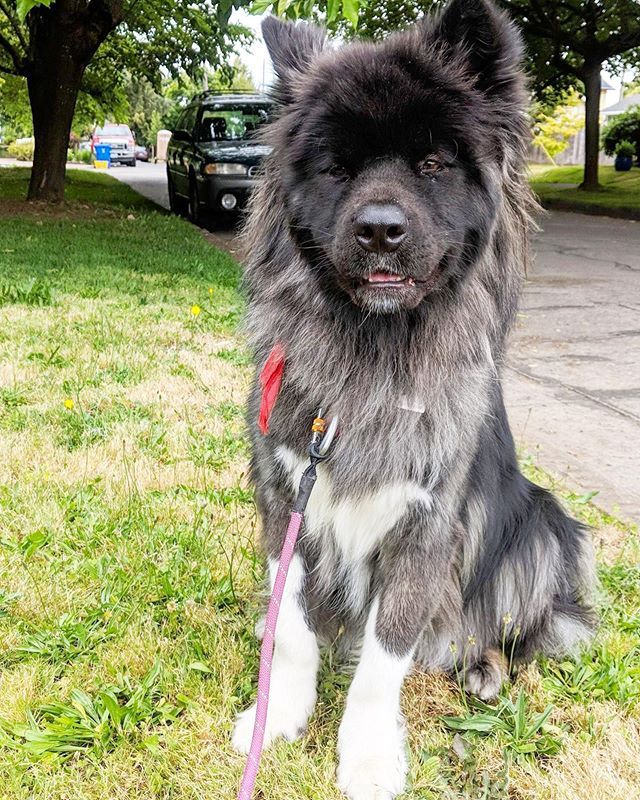 Late post of our gorgeous pal Wilhelmina aka Billie aka Floofiest Floofy Floof 💓 She is a long haired Akita, if you're wondering.
