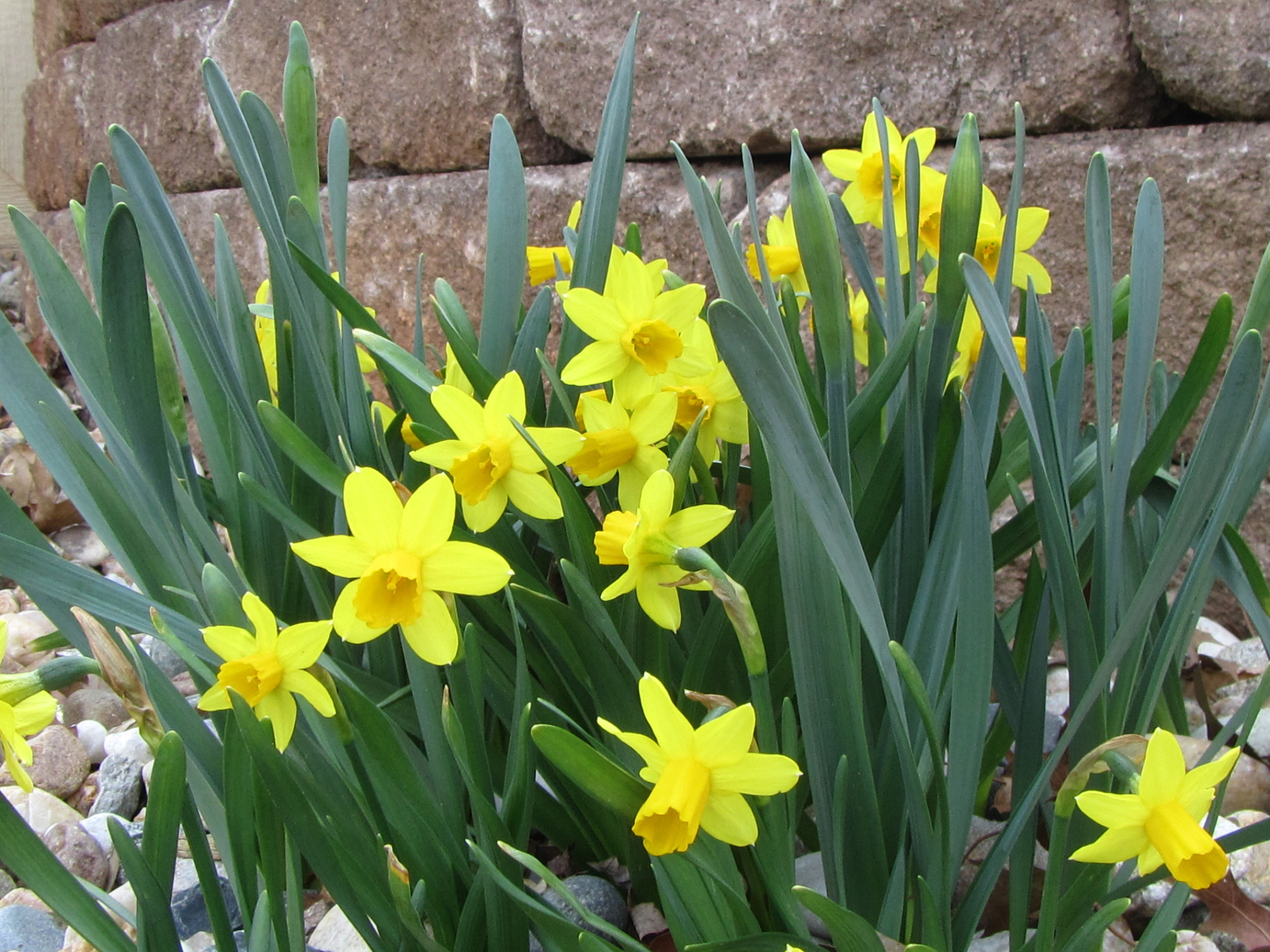Daffodils 5 meg.JPG