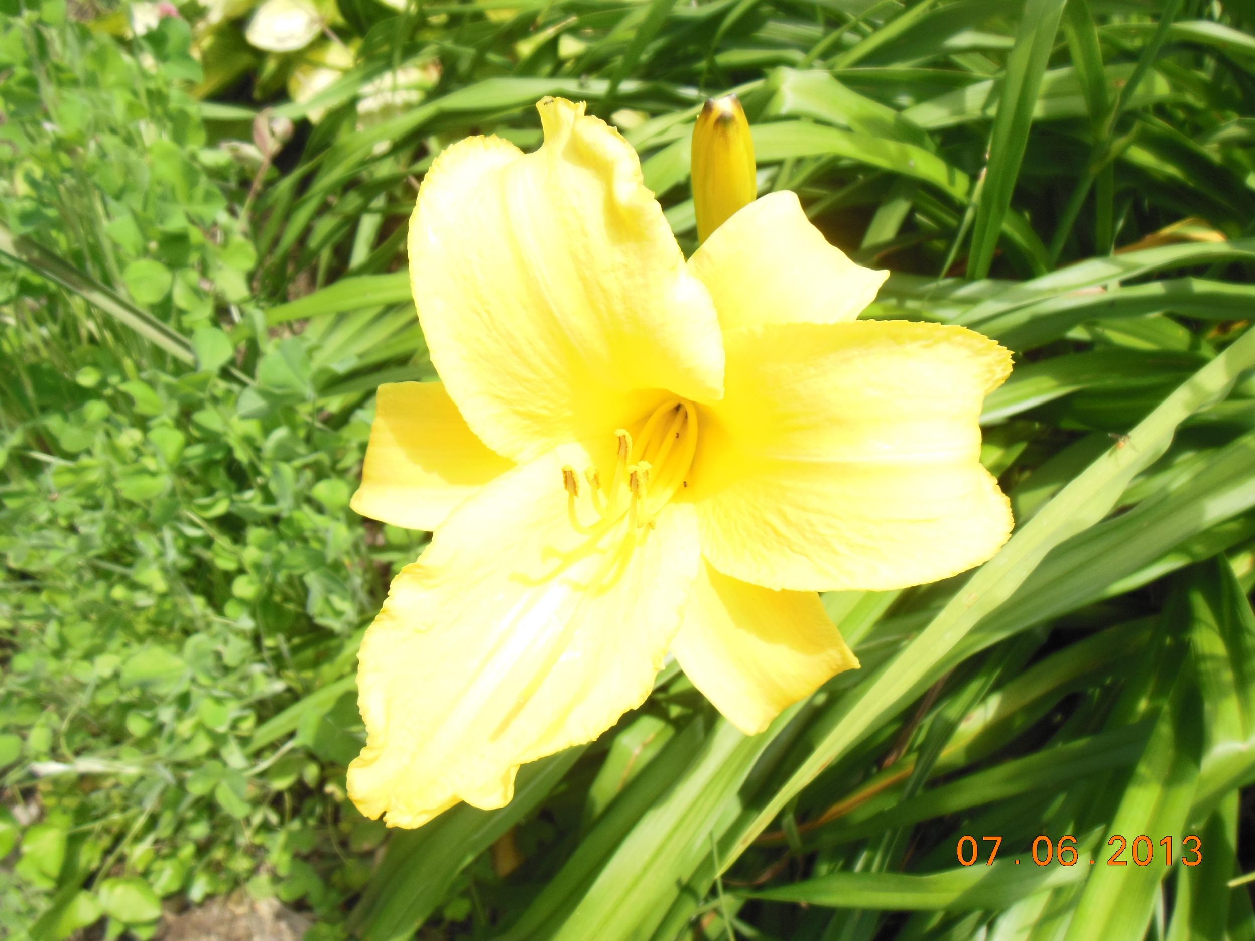 daylily (4) KS.JPG