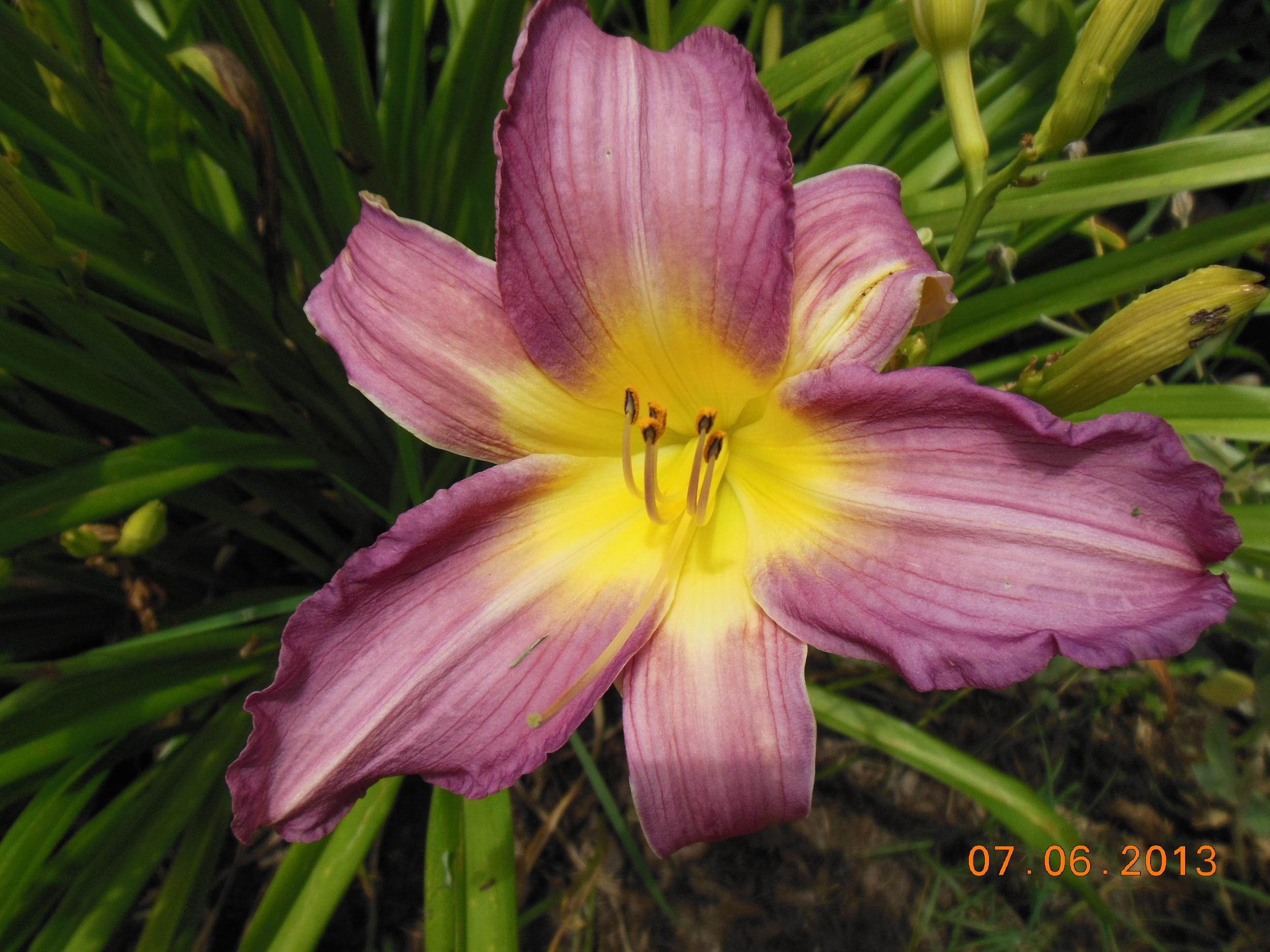 Daylily (7) KS.JPG