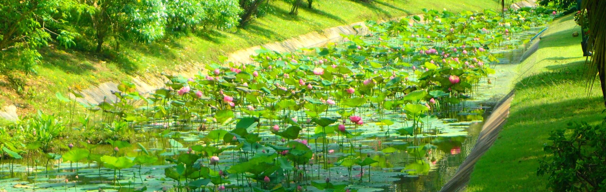 Lotus plants on Koh Samui Island, Thailand