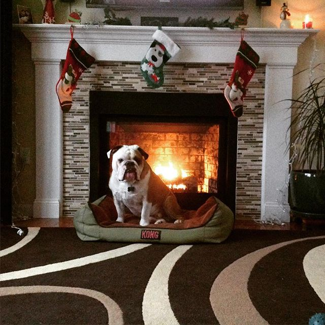 My favorite time of year! #Christmas #fire #english #bulldog #englishbulldog #englishbulldogofinstagram #charlie #cooper