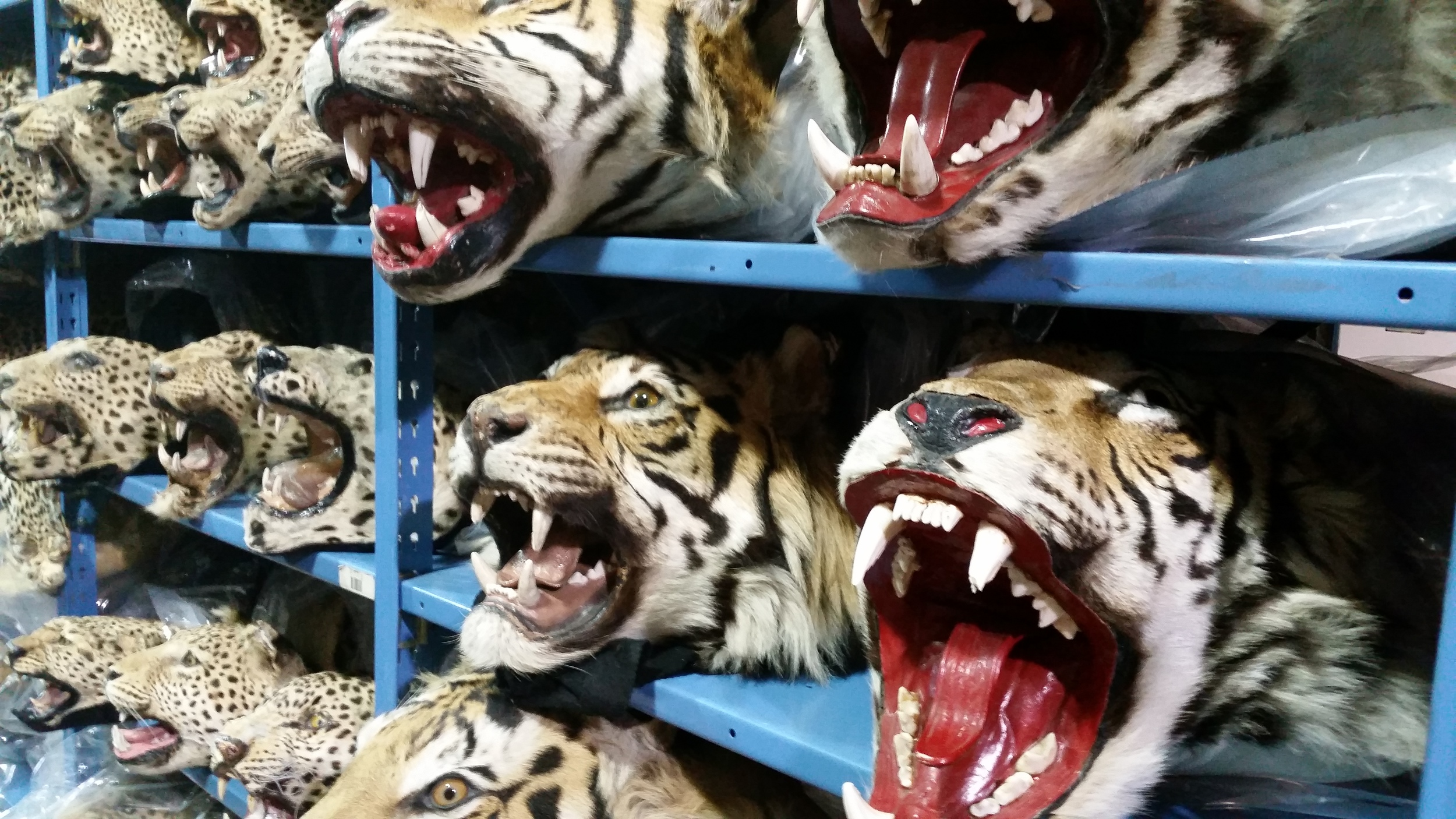 Confiscated tiger skins, Credit: USFWS Mountain-Prairie