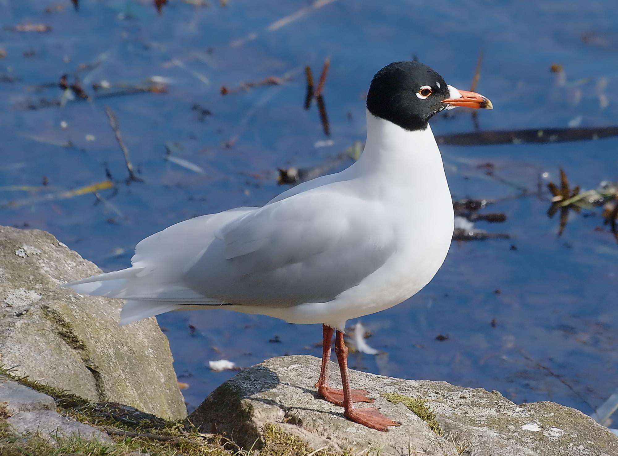 Mediterranean Gull.Credit: Stefan Berndtsson