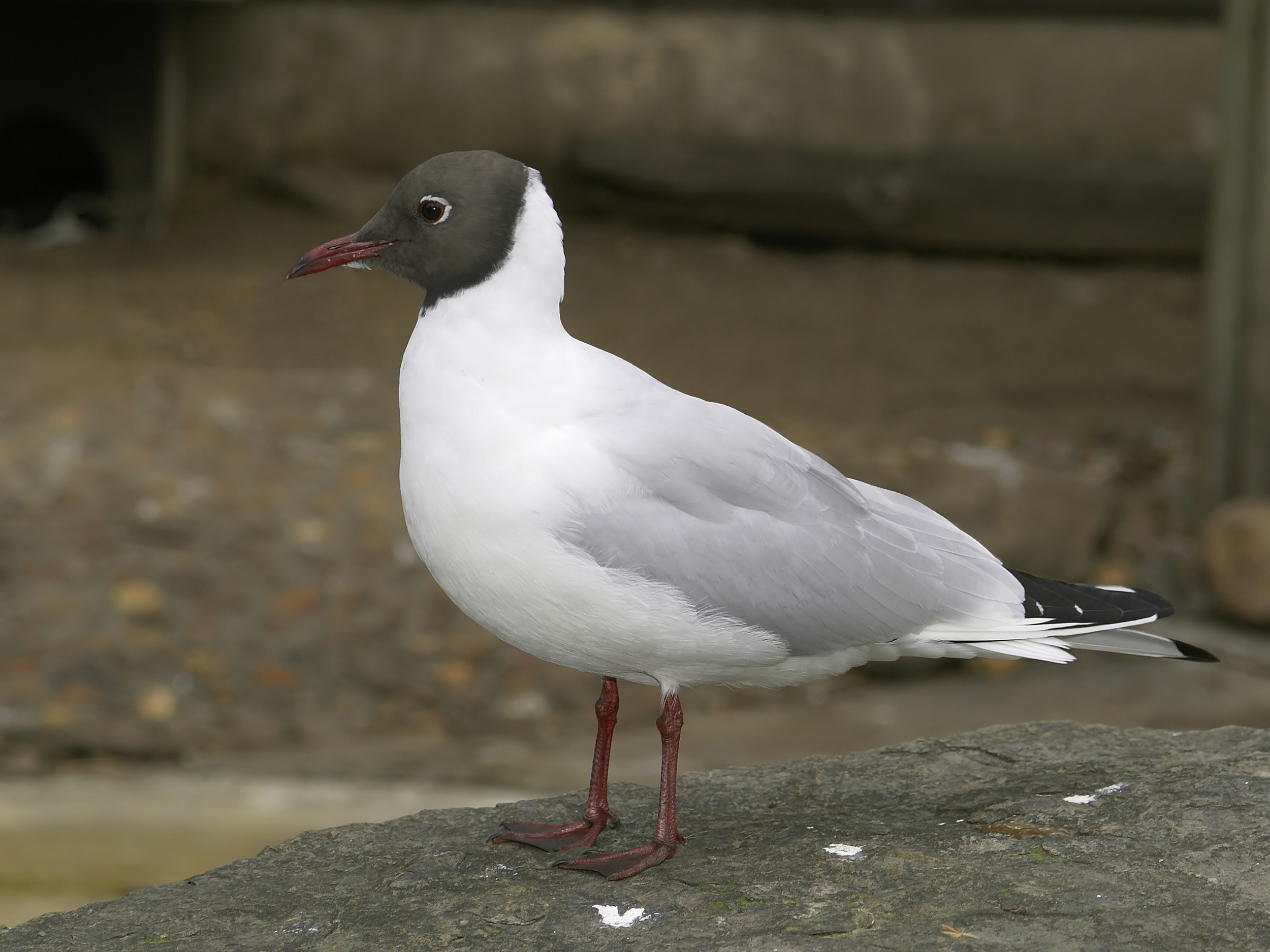 Black-headed gull Credit: Wikipedia Commons