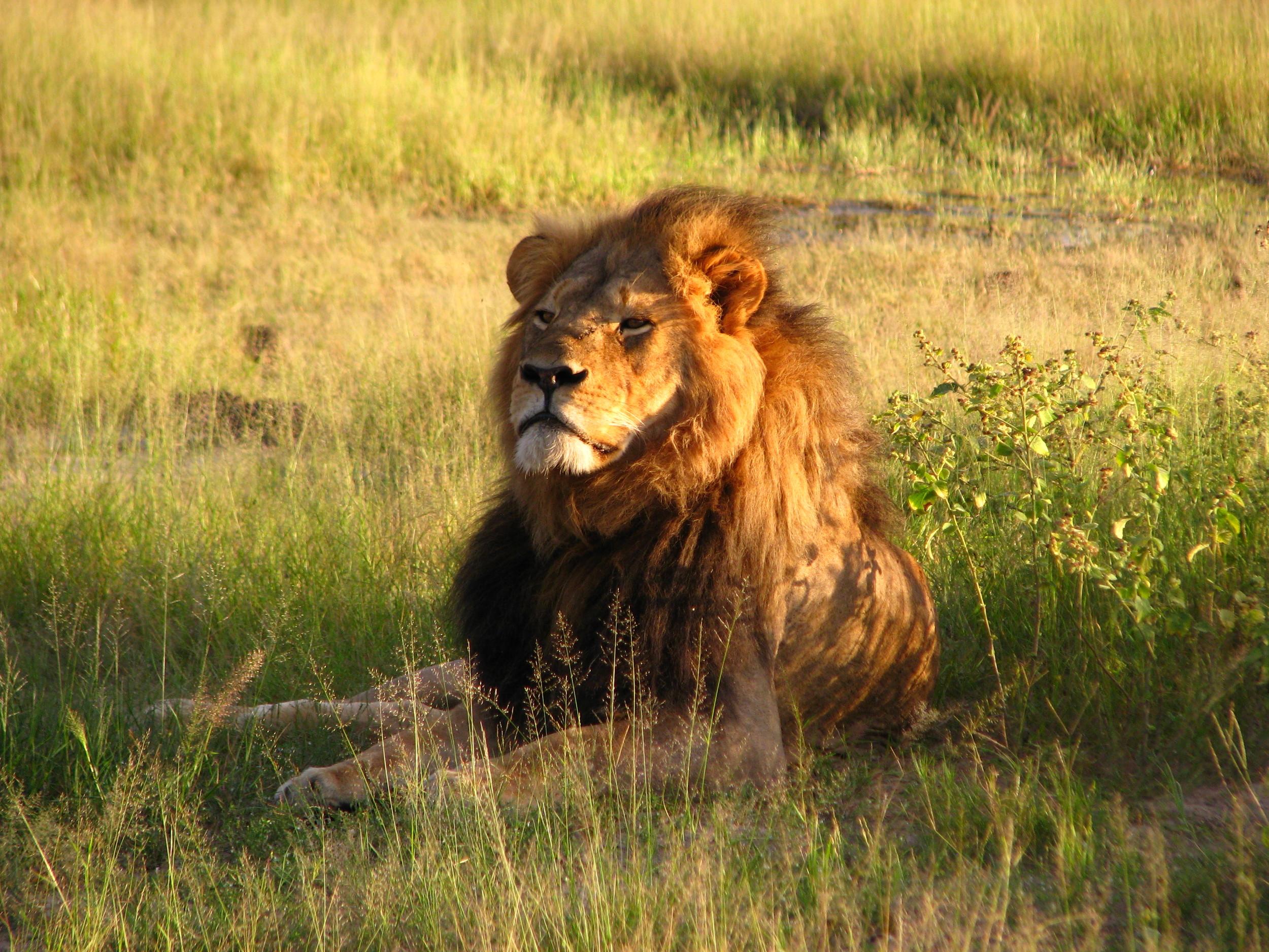 The ever majestic and mourned Cecil, Hwange National Park, Zimbabwe 2010.  Credit:  Daughter#