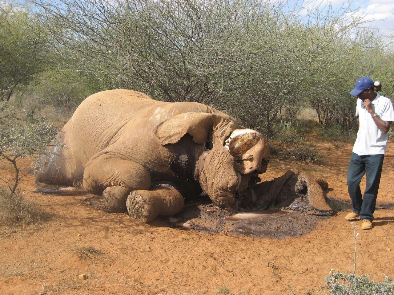 Elephant poached in Kenya. Credit: Elain e
