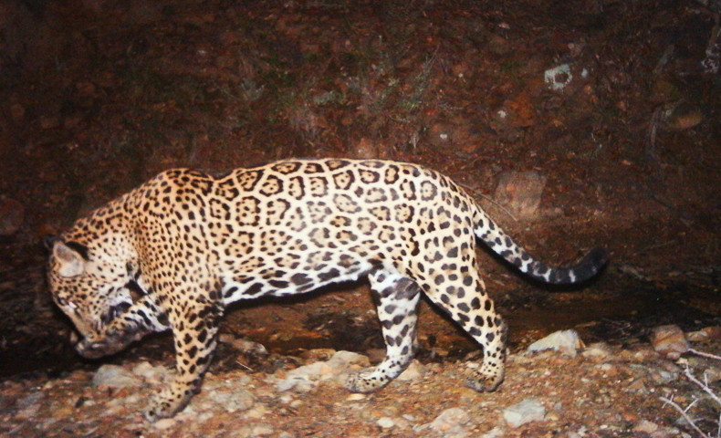 El Jefe, the only known jaguar in the United States residing in Arizona, believed to have crossed the U.S. - Mexico border.