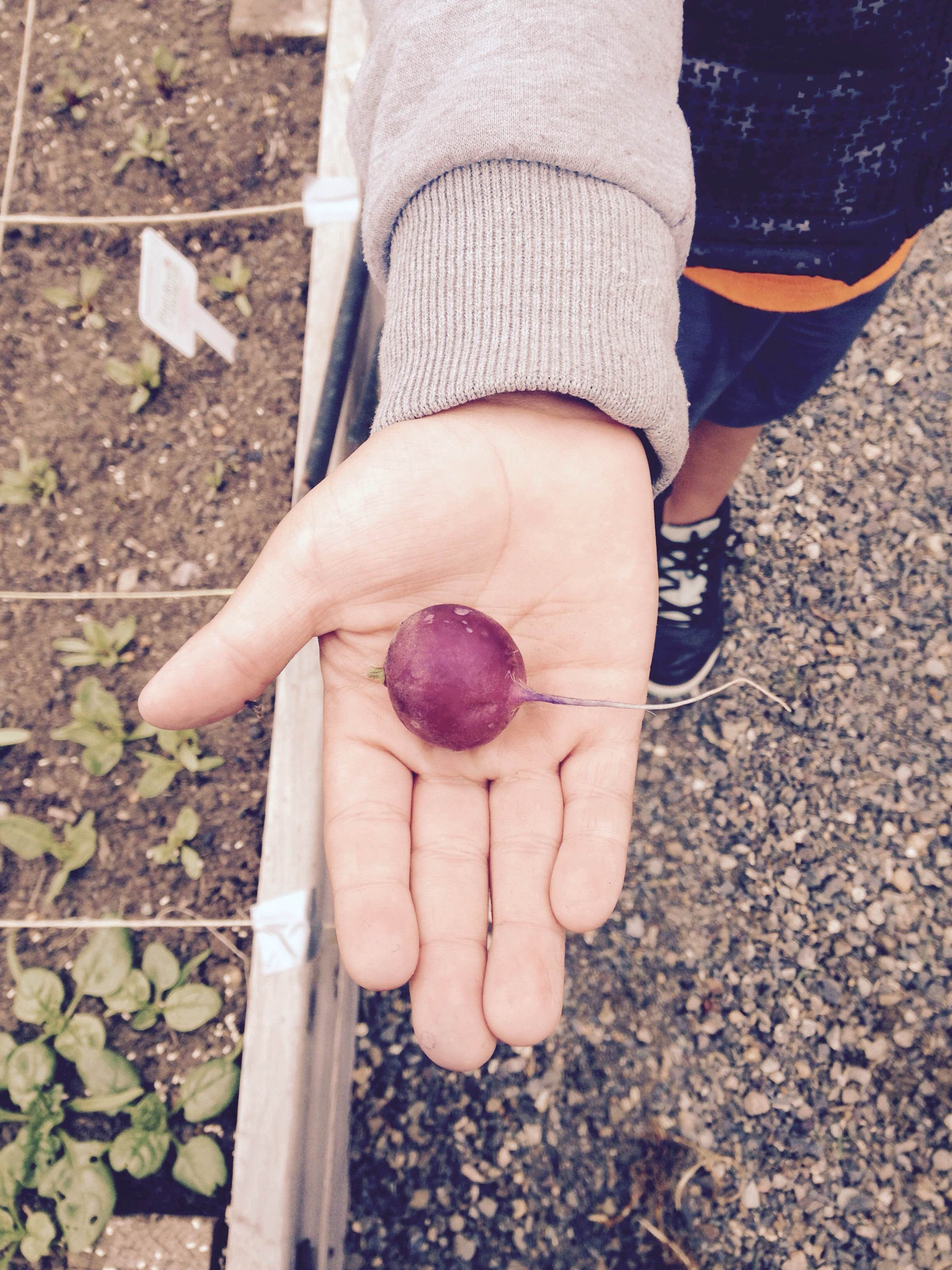 A volunteer holds the first radish harvested from the garden in 2015.