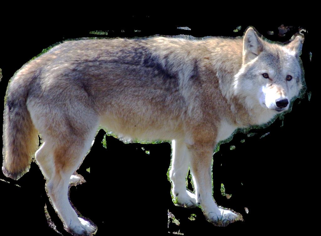 Arctic_Wolf_Or_Polar_Wolf__600.jpg