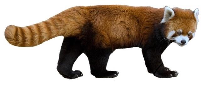 Red-Panda-PNG-HD.png