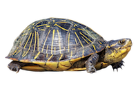 Turtle.png