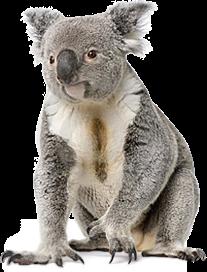 koala_PNG2.png