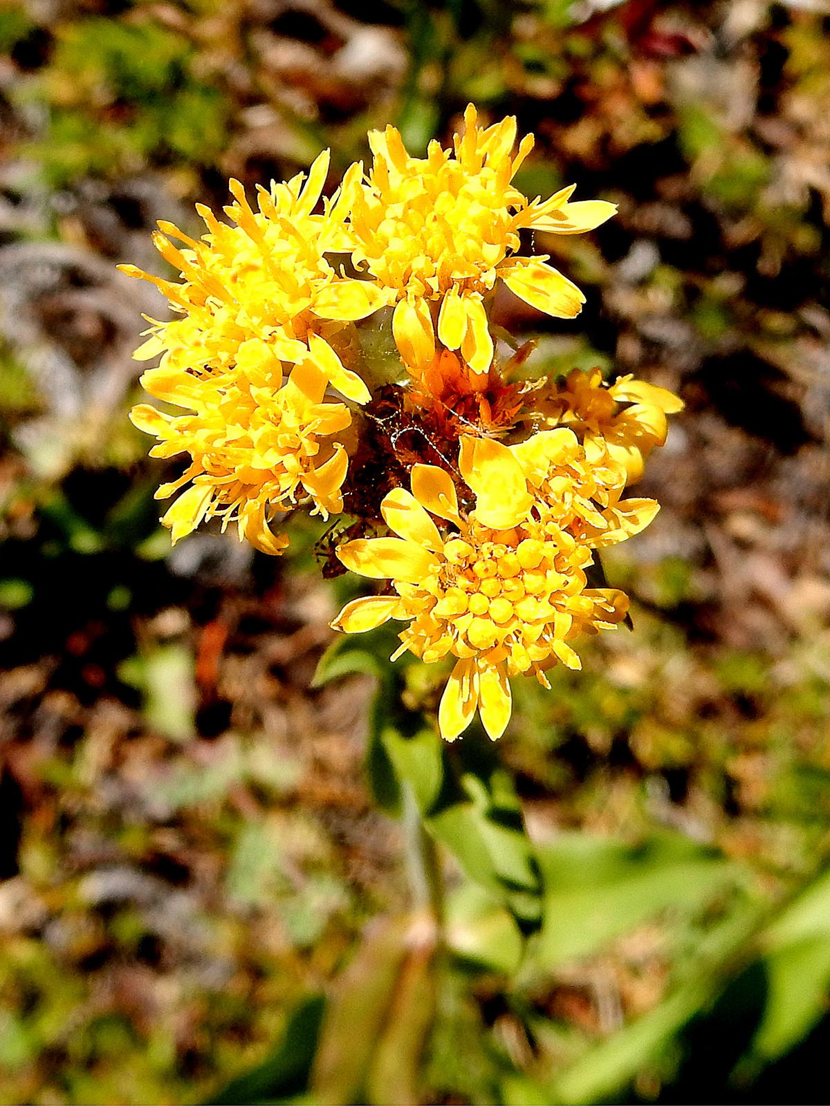 SUMMER - Cascade Canada Goldenrod