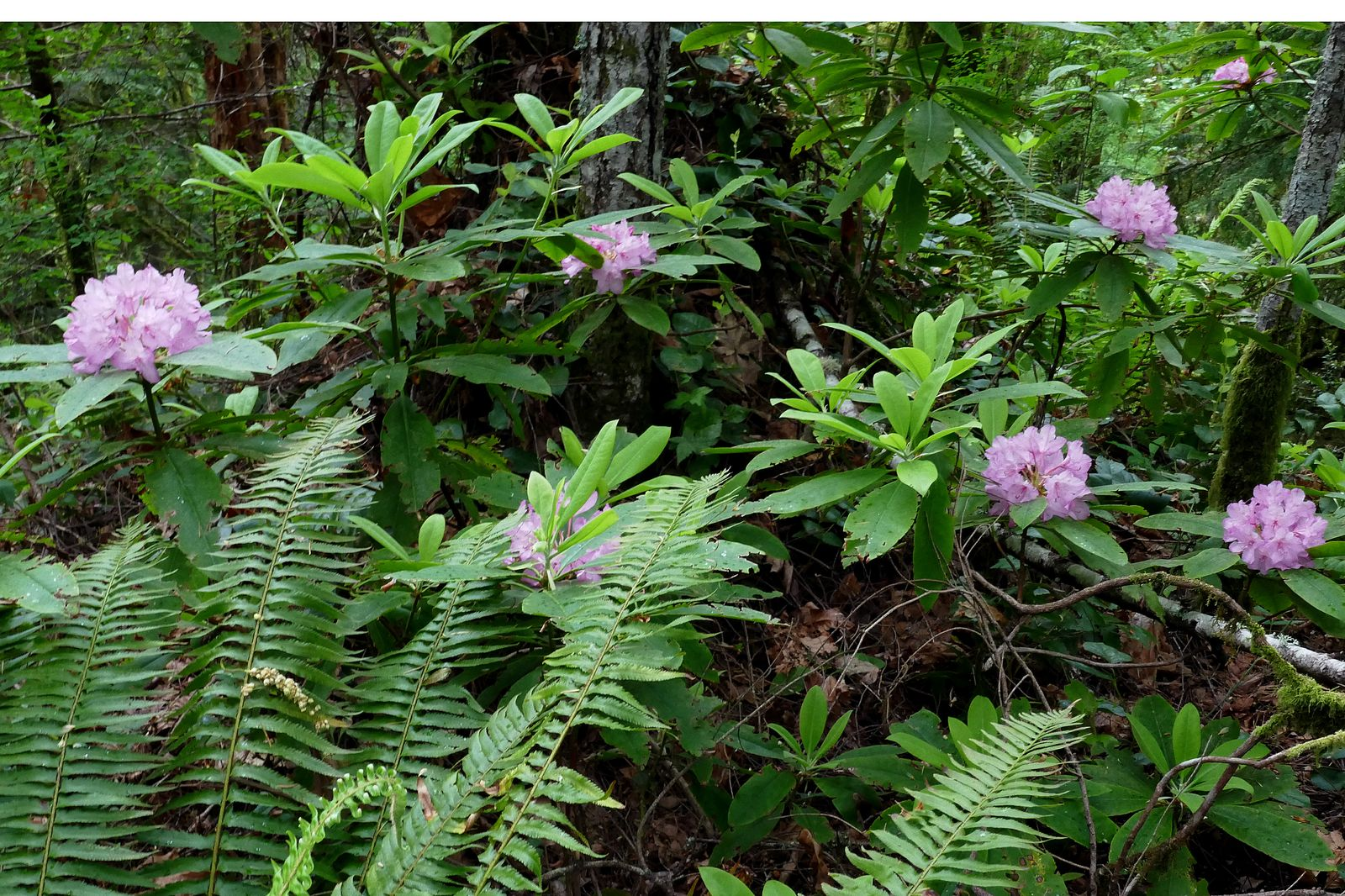 Wild Rhodies growing along the trail