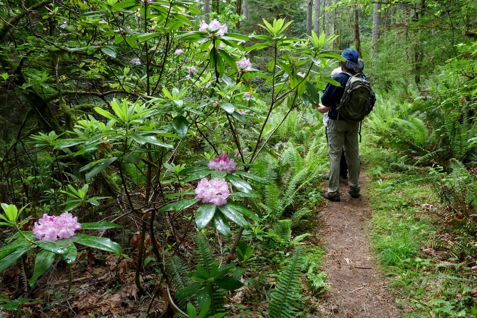 More Rhodies along the way
