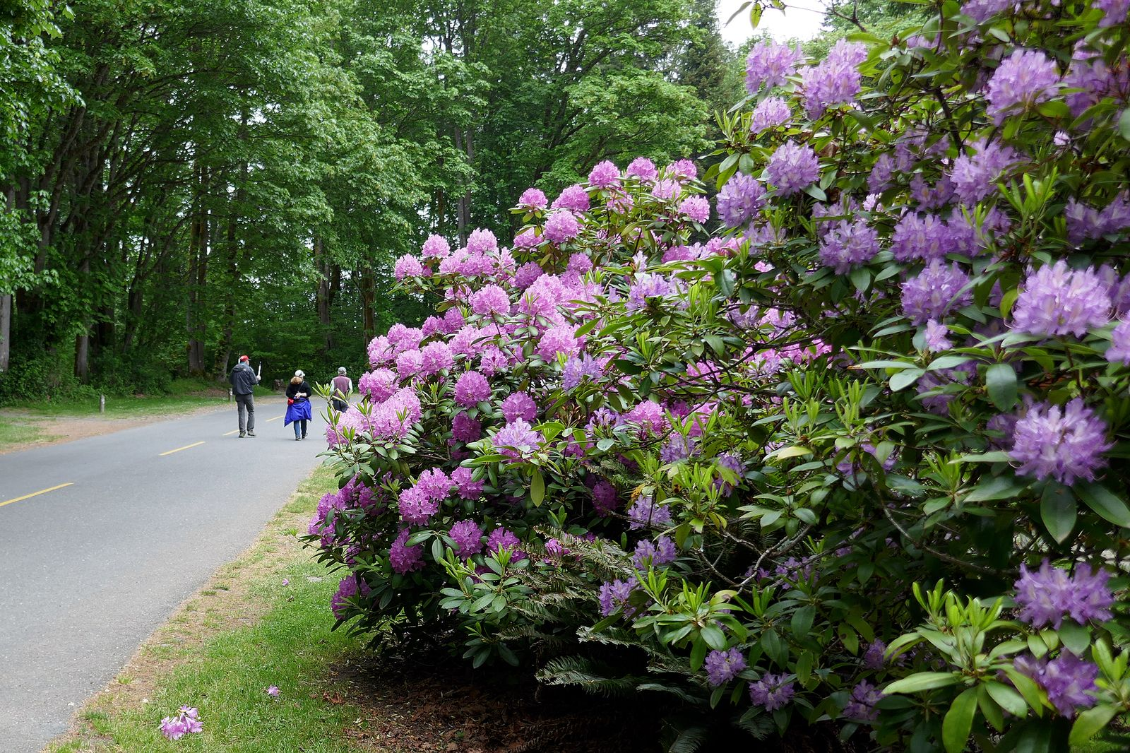 The Rhodies along the way back to the parking lot