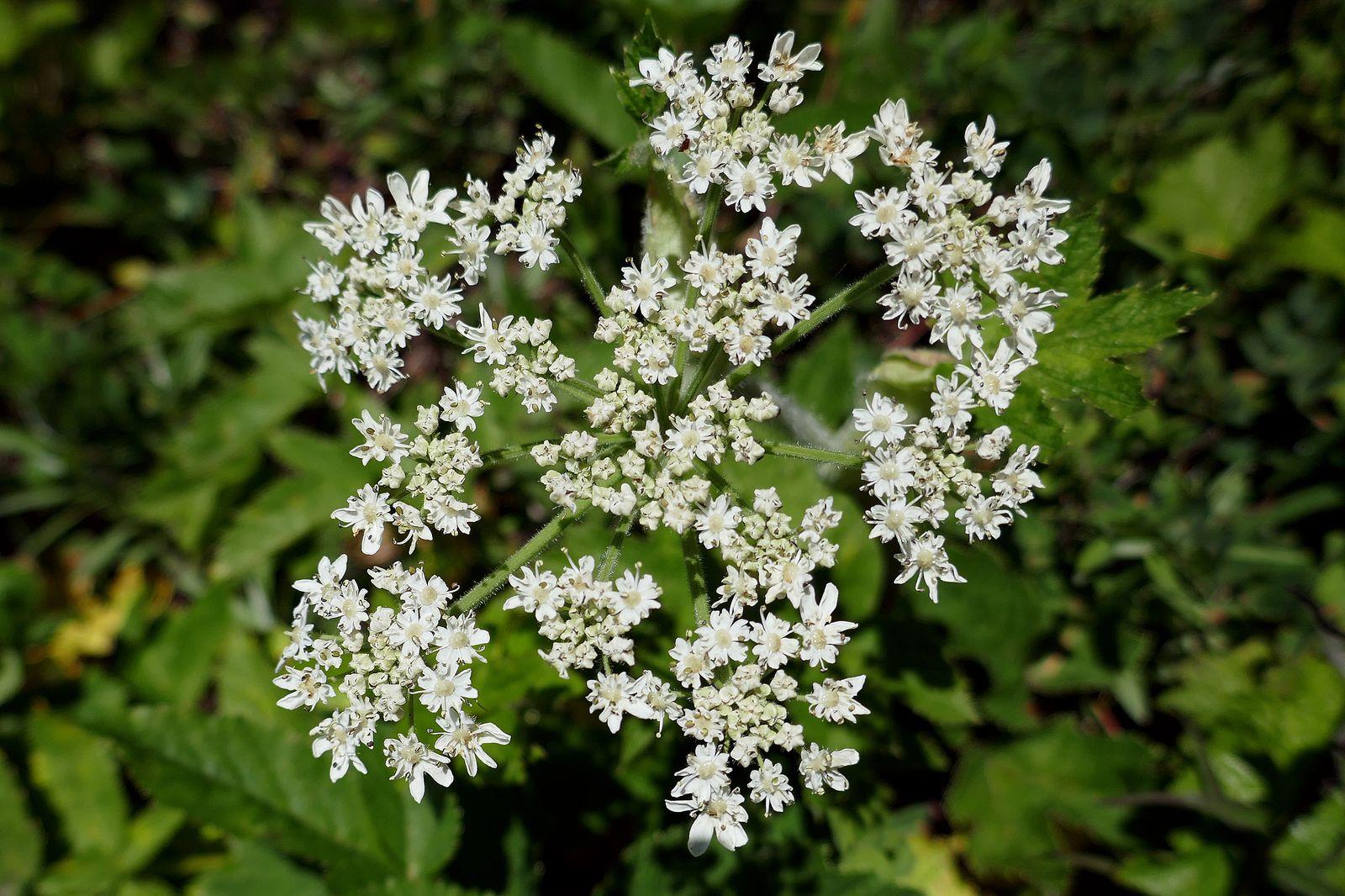 White Spiraea