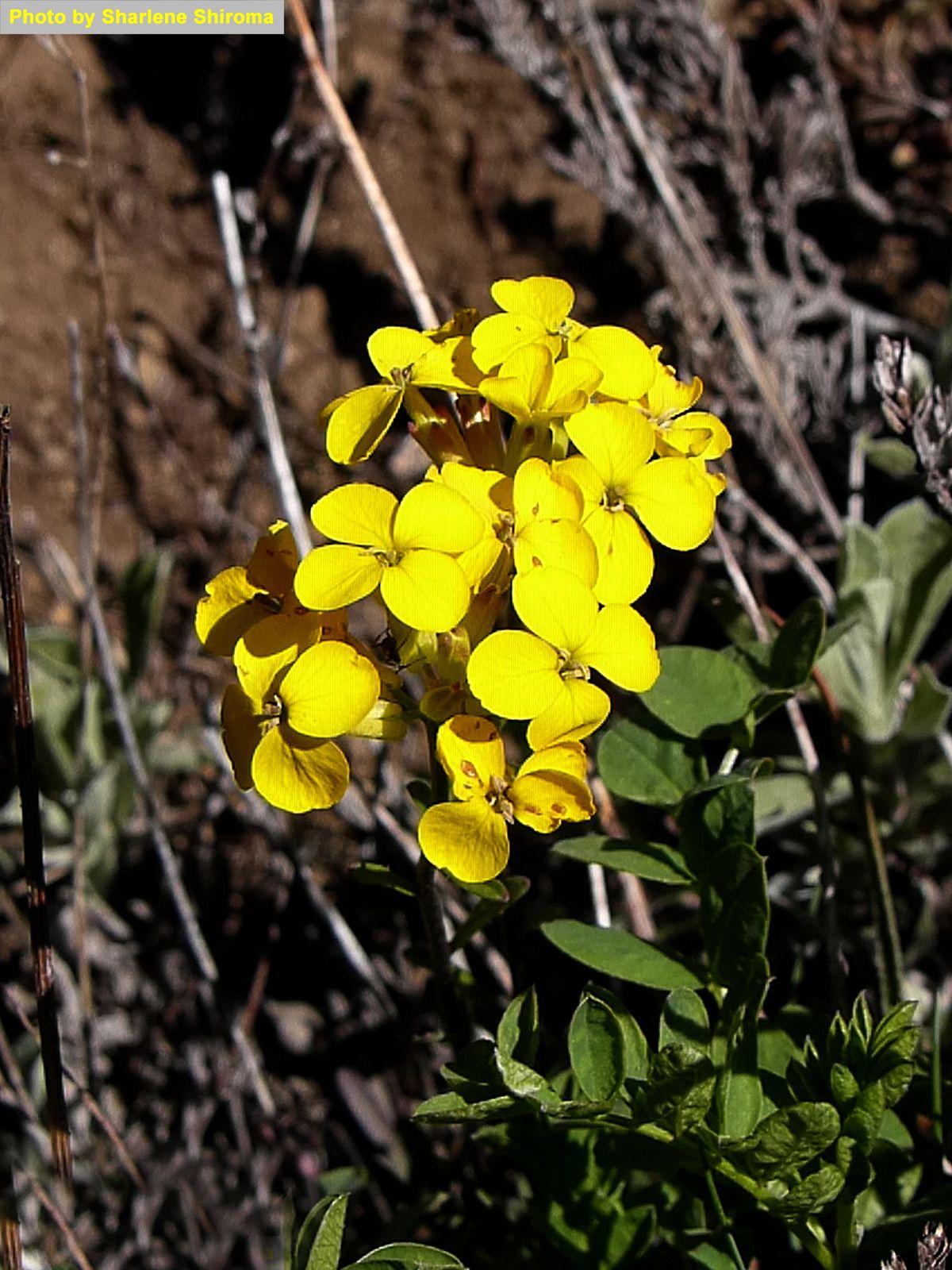 Field Mustard -- Mustard Family