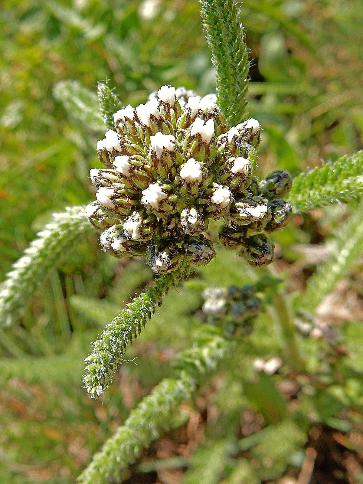 Field Locoweed