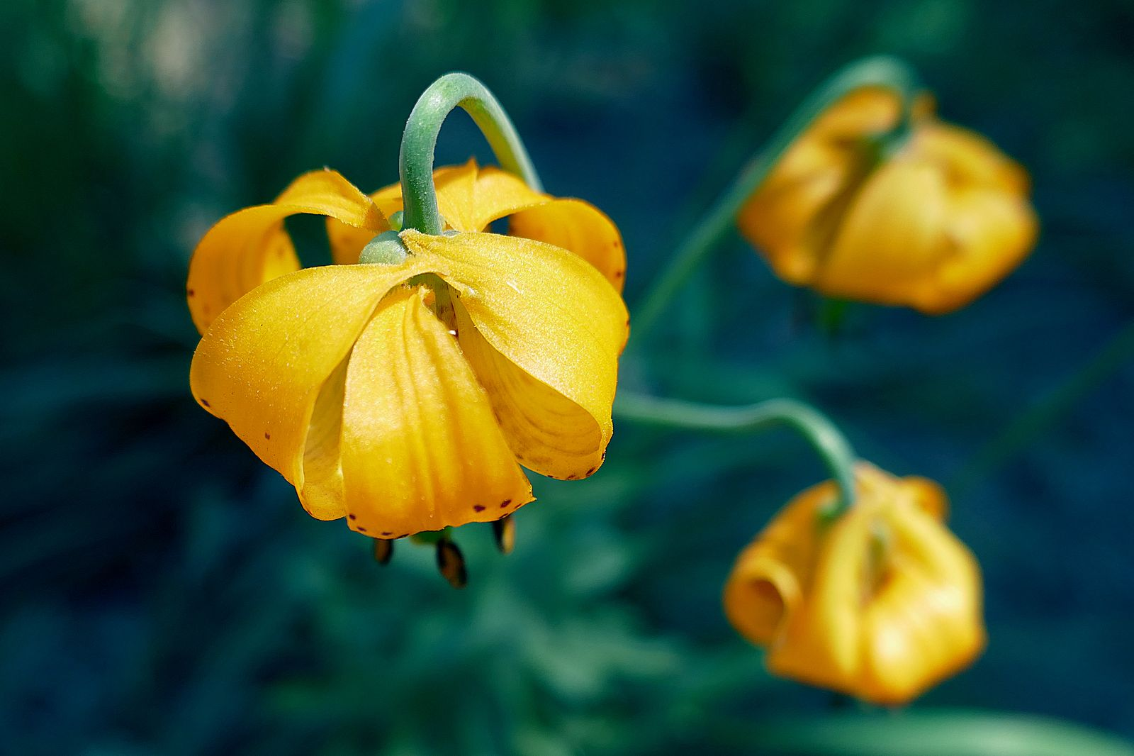 Columbian Lily – Lily Family
