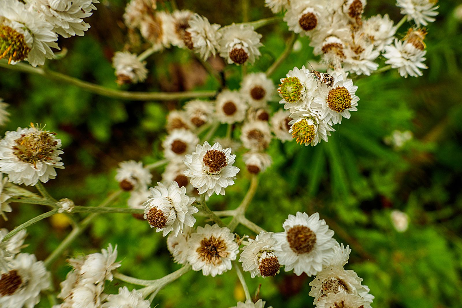 Pearly Everlasting -- Aster Family